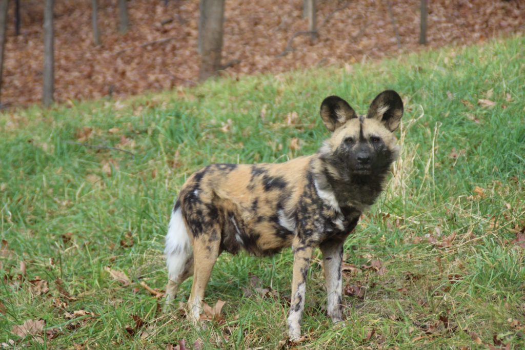 African Painted Dog 9