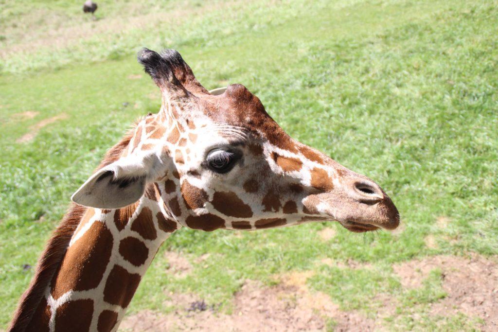 Giraffe 31