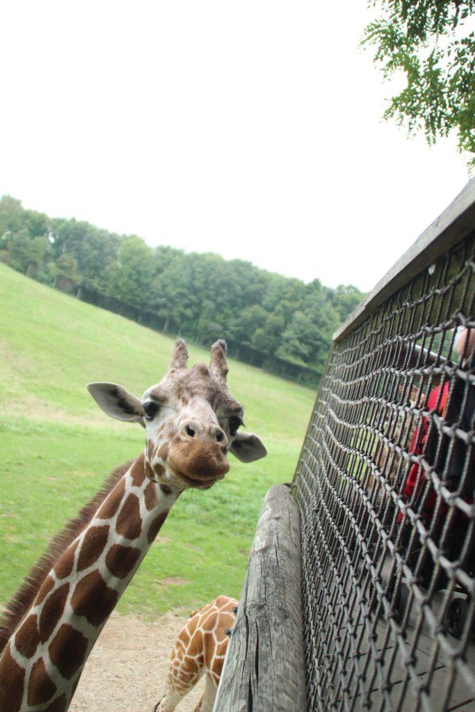 Giraffe 32