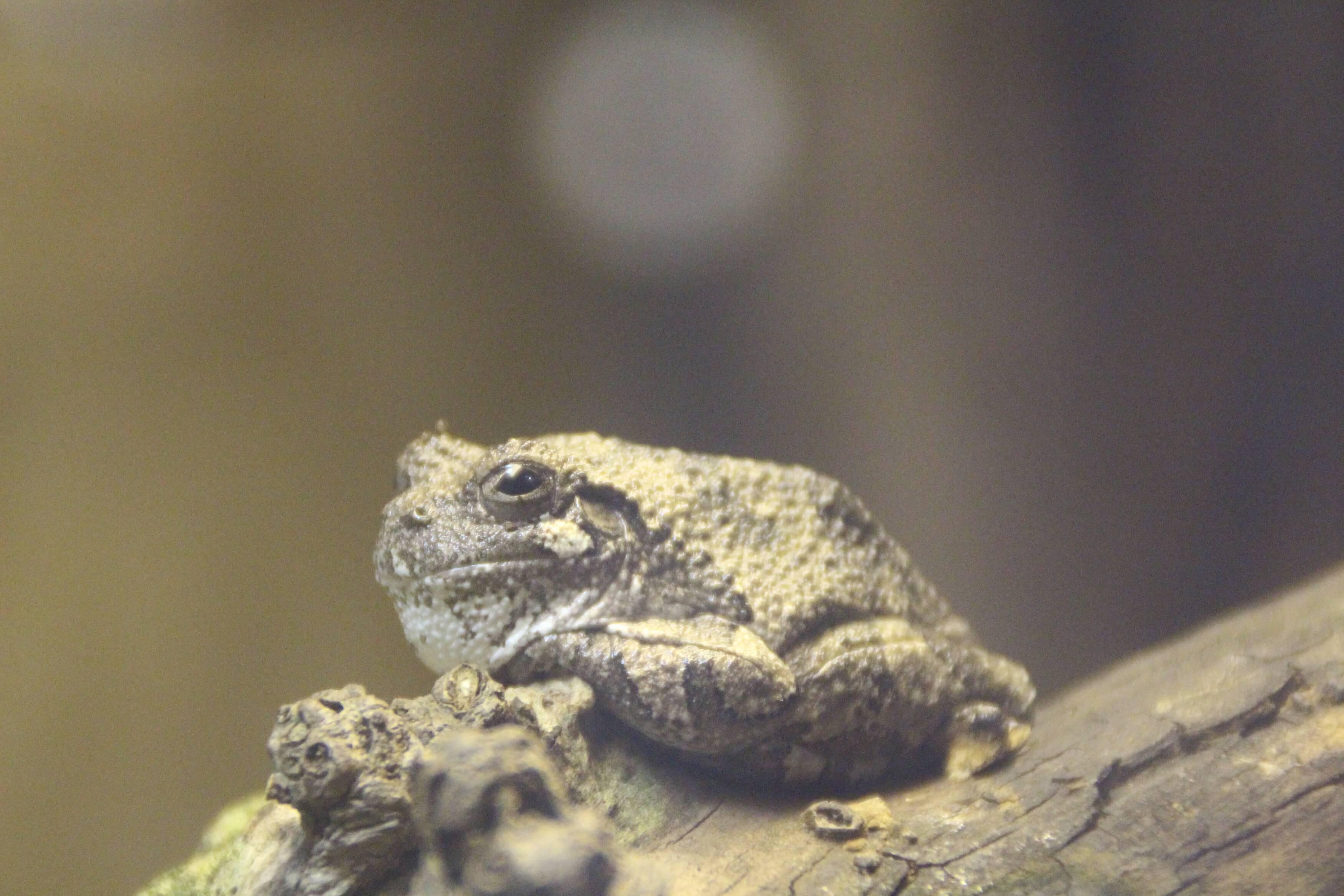 Gray Tree Frog - Binder Park Zoo