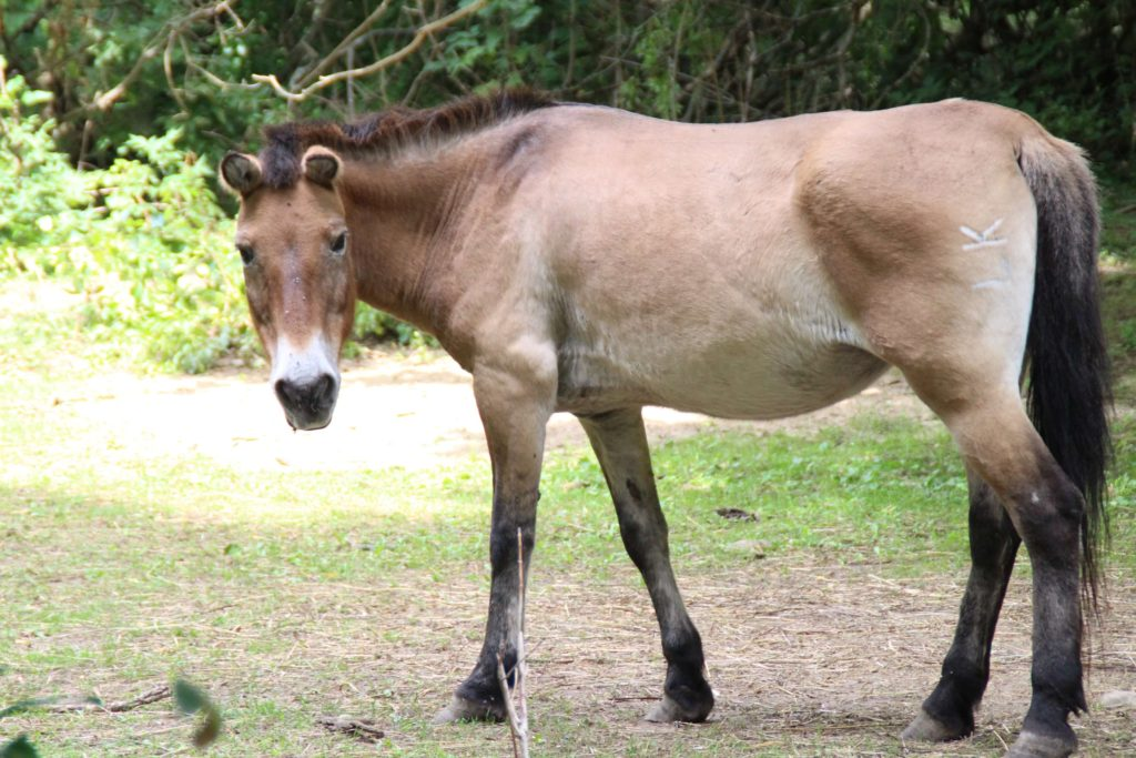 mongolian wild horse 4