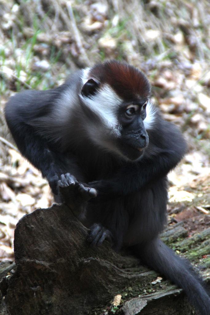 Red Capped Mangabey Binder Park Zoo