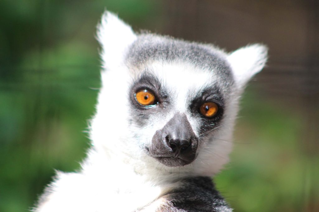 ring tailed lemur 4