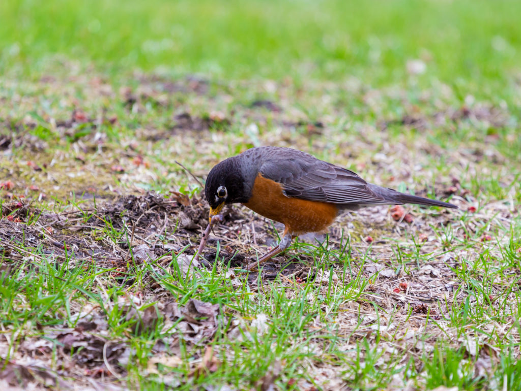 American Robin in a green grass field searching for worms and other insects in early spring in Montreal Canada.