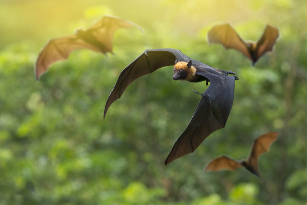 The bat flock is flying.( Lyle's flying fox)
