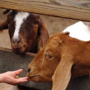 hand-feeding-goats