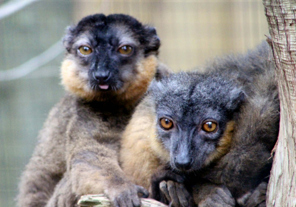 brown lemur 7