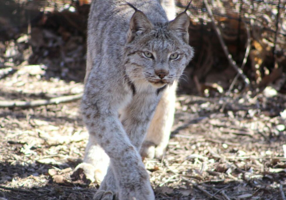 canada lynx 6