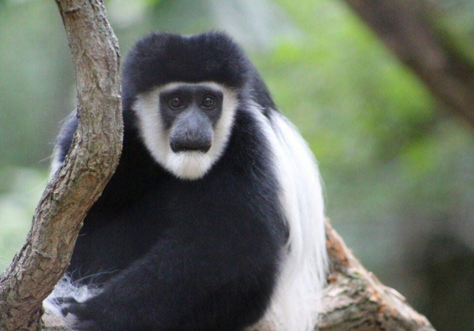 colobus monkey 3