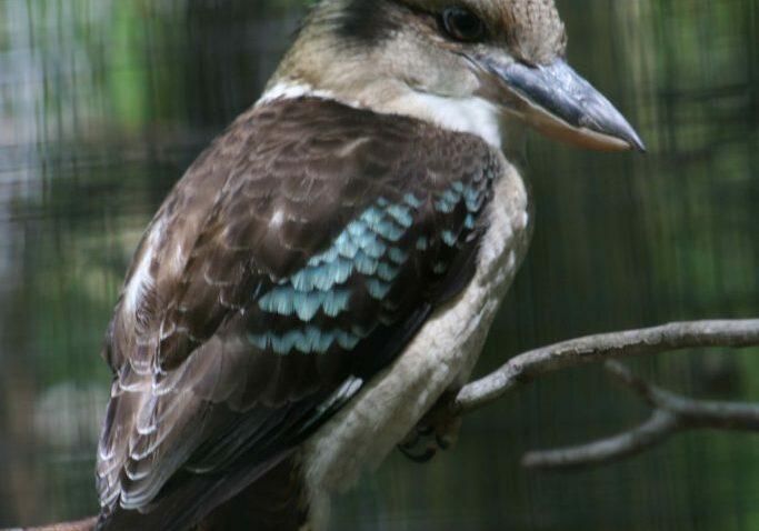 kookaburra 5