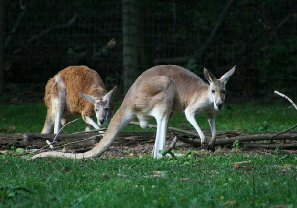red kangaroo 4