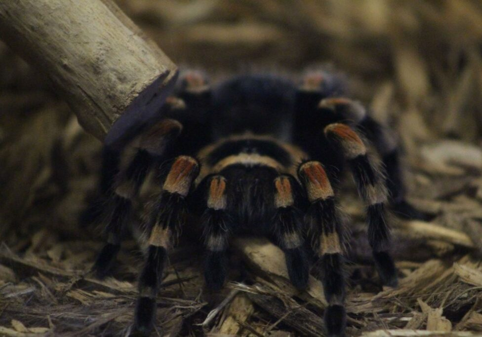 red knee tarantula 1