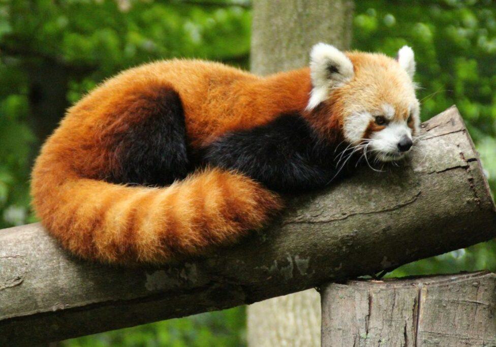 red panda 13
