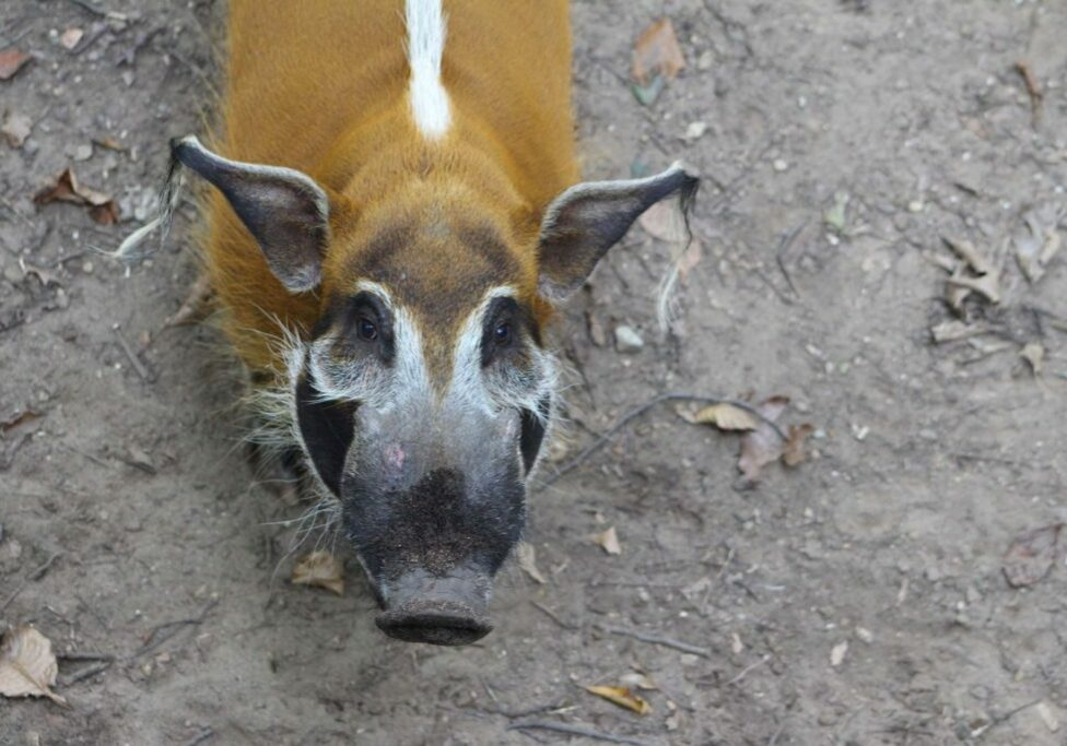 red river hog 8