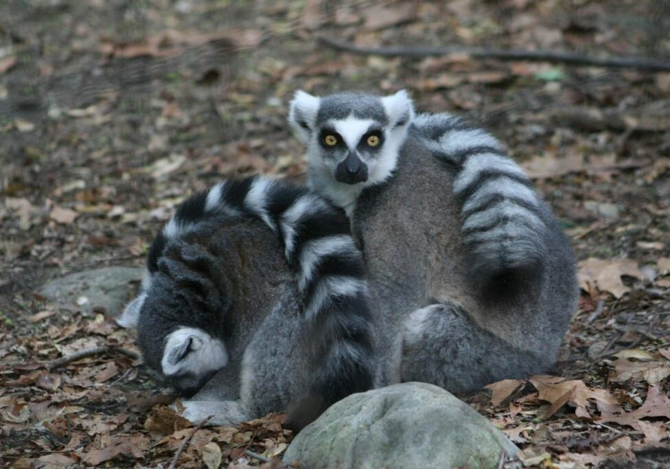ring tailed lemur 6