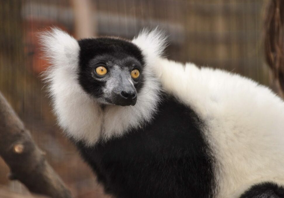 ruffed lemur 1
